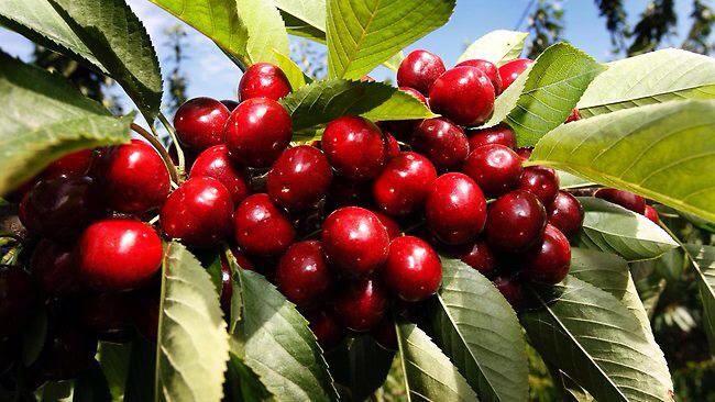 Kỹ thuật trồng cây quả Cherry