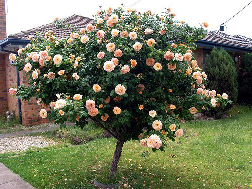 http://www.congtycayxanh.vn/images/Cayxanh/tree-rose-2.jpg
